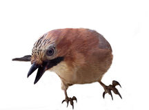 Jay in winter plumage close up Stock Images