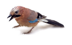 Jay in winter plumage close up Royalty Free Stock Images