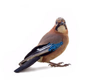 Jay in winter plumage close up Royalty Free Stock Photos