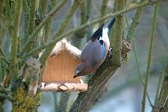 Jay at a wooden bird feeder. Jay picking grains out of a small wooden bird feeder stock image