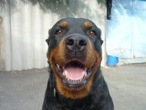 Jaya, Rottweiler stockfotos