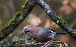 jaybird Zdjęcie Stock