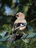 Jaybird che si siede su un recinto Fotografie Stock