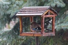 Jaybird humide Image stock