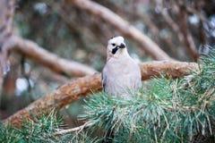 Jaybird Stock Photo