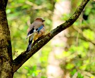 Jaybird in spring Royalty Free Stock Photography