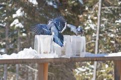 Jays blu sugli alimentatori della lanterna del ghiaccio Immagini Stock