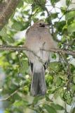 Jays do Nestling Imagem de Stock