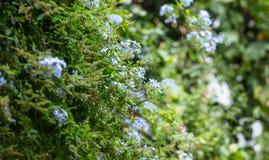 Jazmín azul con las hojas verdes claras Planta floreciente en prado Fondo de la naturaleza de la falta de definición Imagen de archivo libre de regalías