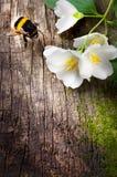 Jazmín de la abeja y de la flor en viejo fondo de madera Fotografía de archivo libre de regalías