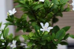 Jazmín de noche o flor blanca del pétalo con el buen olor imagenes de archivo
