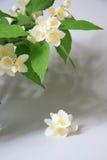 Jazmín en un florero Fotos de archivo
