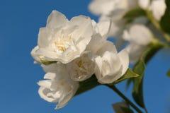 Jazmín fragante floreciente de la primavera Imagen de archivo