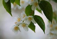 Jazmín que florece con las flores blancas puras Foto de archivo