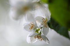 Jazmín que florece con las flores blancas puras Imágenes de archivo libres de regalías