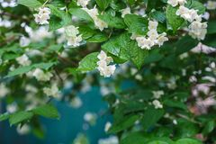 Jazmín Rama del jazmín floreciente Fotografía de archivo