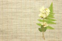 Jazmín secado Fotografía de archivo libre de regalías