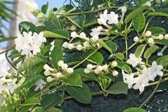 Jazmin, aroma and beauty. Royalty Free Stock Photos