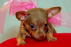 Jazzy Puppy. Puppy chihuahua dressed up in bows & pearls stock images