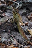 JC Iguana standing on driftwood on sand Stock Images