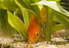 jeść 01 złotą rybkę Zdjęcia Royalty Free