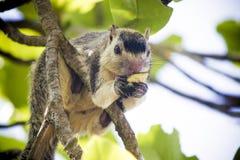 Jeść Dzikiej wiewiórki w Vilpathu Sri Lanka zdjęcie stock