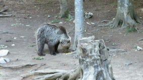 Jeść niedźwiedzia zbiory