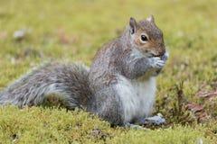 jeść orzeszki wiewiórka Obraz Royalty Free