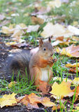 jeść orzeszki wiewiórka Zdjęcie Royalty Free