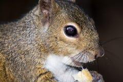 Jeść Popielatej wiewiórki, Wekiva park, Floryda, usa obraz stock