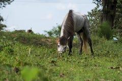jeść trawy biały koń Fotografia Stock
