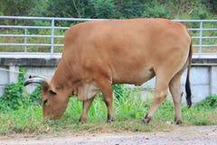 jeść trawy krowy Fotografia Royalty Free
