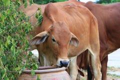 jeść trawy krowy Fotografia Stock