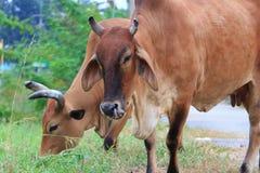 jeść trawy krowy Zdjęcia Royalty Free