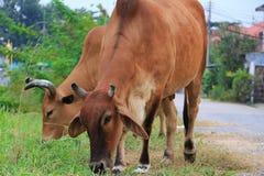 jeść trawy krowy Zdjęcia Stock