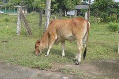 jeść trawy krowy obraz royalty free