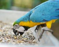 Jeść ziarno papugi ary Zdjęcie Stock