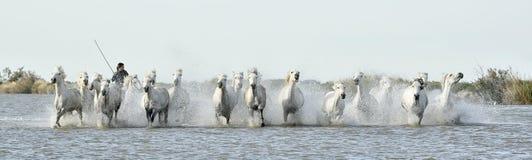 Jeźdzów i Białych konie Camargue bieg przez wody Zdjęcie Stock