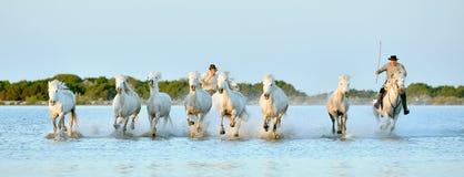 Jeźdzów i Białych konie Camargue bieg przez wody Zdjęcie Royalty Free