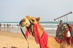 Jeźdza wielbłąd, siedzi na piasku Fotografia Stock