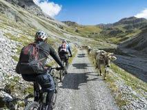 Jeździć na rowerze past krowy w wysokich górach Zdjęcie Royalty Free
