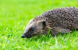 _jeż, dziki, rodzimy, europejski jeż w naturalny ogrodowy siedlisko z zielony trawa zdjęcia stock