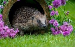Jeż, dziki, rodzimy, Europejski jeż w naturalnym ogrodowym siedlisku z kwiatonośnymi szczypiorkami, fotografia stock