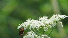 Jeż komarnica na roślinie rozkaz Umbelliflorae zbiory wideo