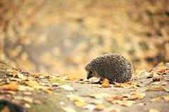 Jeż w jesień lesie Zdjęcia Royalty Free