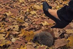 Jeż w niebezpieczeństwie, kobiety stopa w szpilkach, agresywny zachowanie, jesień sezon, jesień liście Obraz Royalty Free