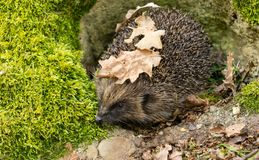 Jeż wyłania się od hibernacji w wiośnie z zielonym mech i liśćmi obraz royalty free