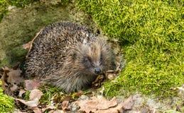 Jeż wyłania się od hibernacji w wiośnie z zielonym mech i liśćmi fotografia stock