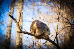 Jeżatka siedział wysoko w drzewnych wierzchołkach przegląda intruzów Fotografia Royalty Free