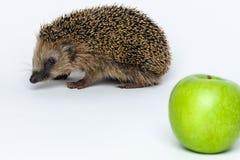 Jeże no jedzą jabłka Obrazy Stock